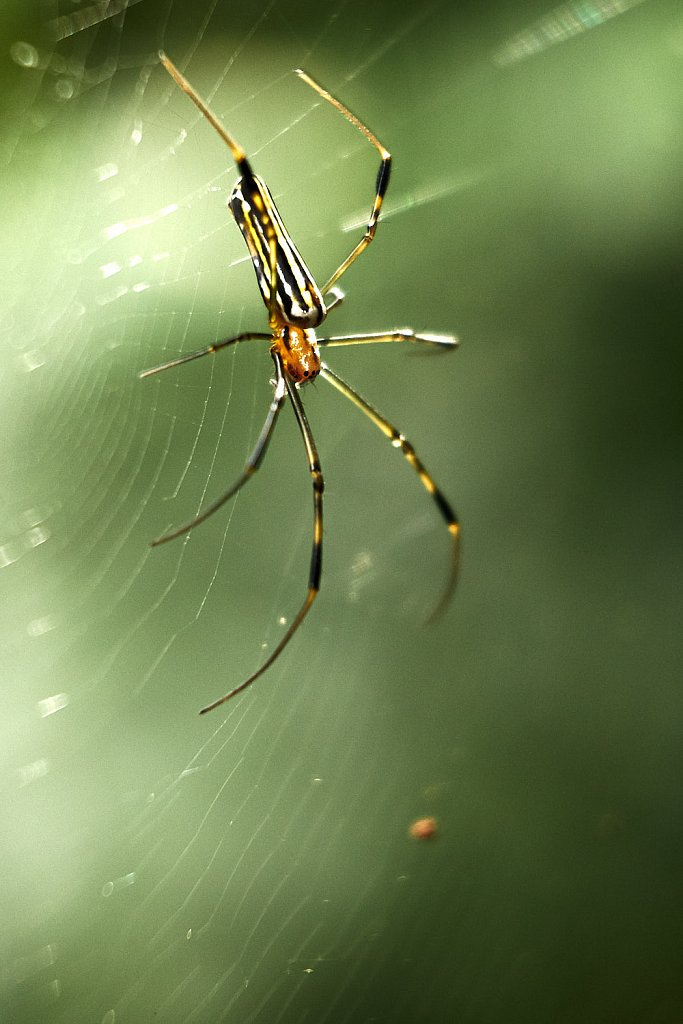 Spider with yellow stripes