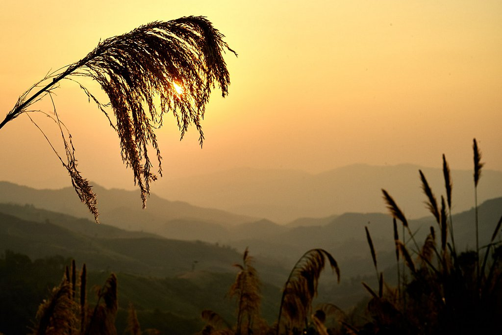 Reed in sunset