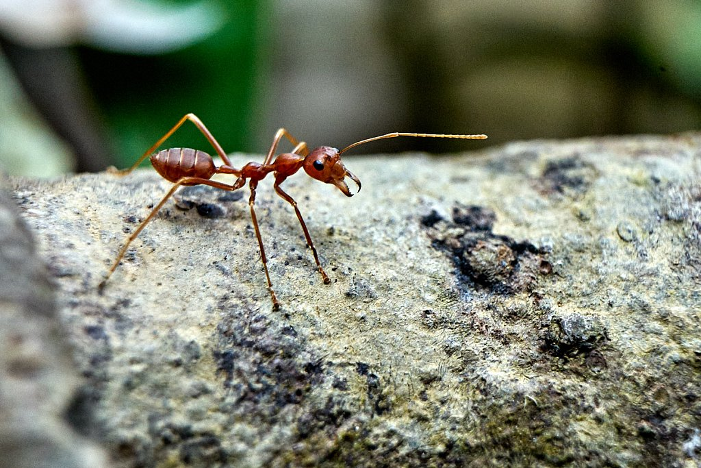 Close up of a tropical ant