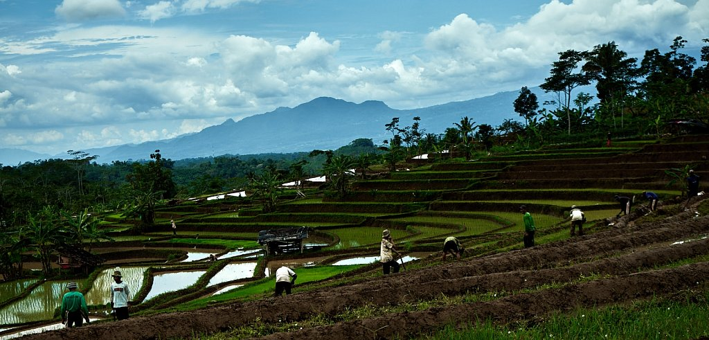 Hard working people in the Paddyfields