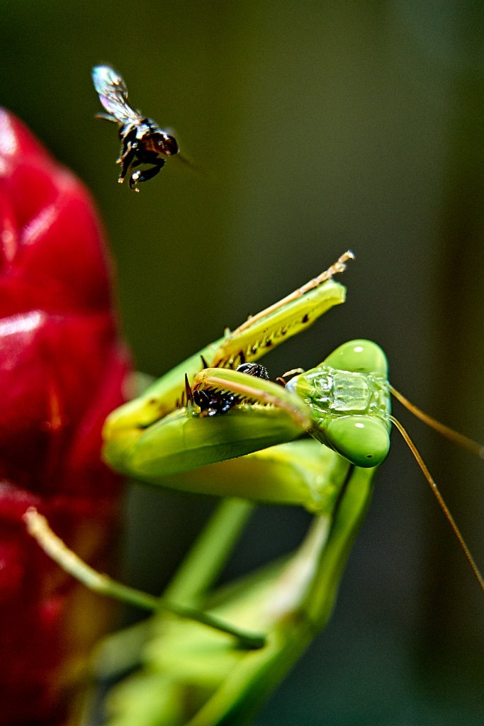 Mantis at lunch