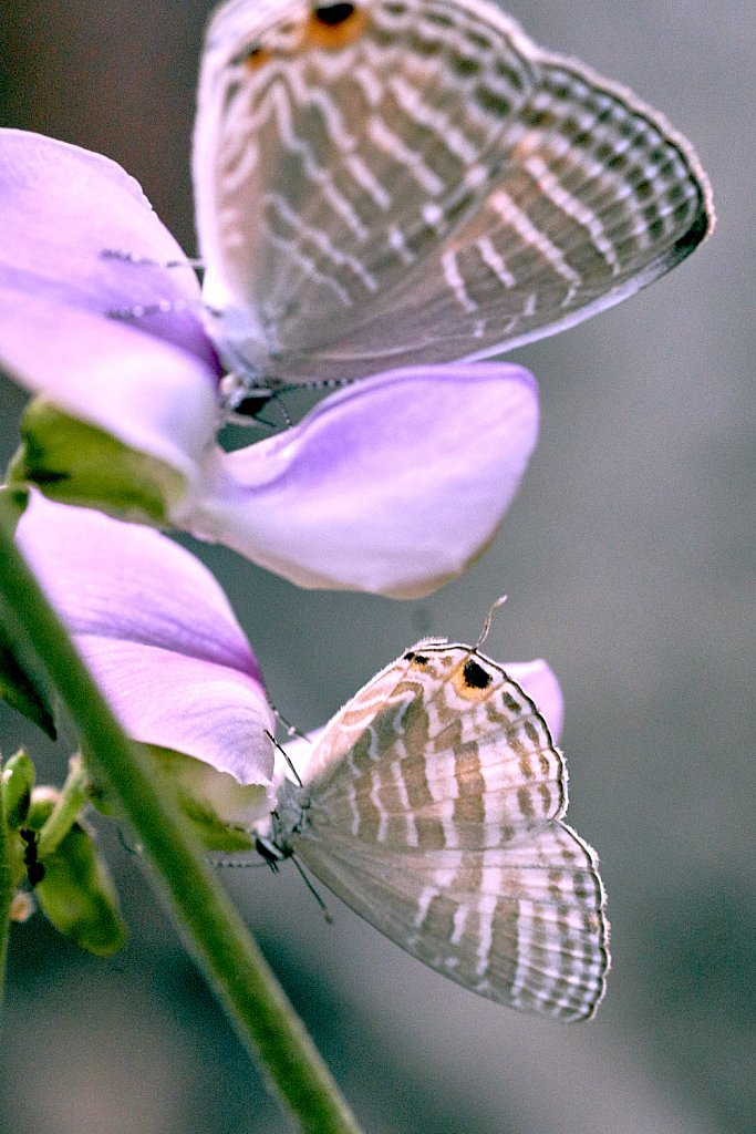 Two Long tailed blue butterflies