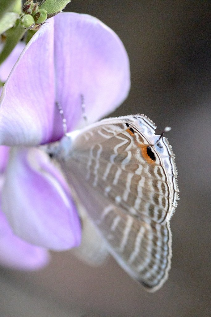 Long tailed blue butterfly